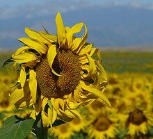 Colorado Sunflower by kennebrew