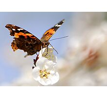 the first colourful butterfly of the year Photographic Print