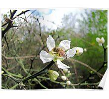 Honey Bee on Native Texas Citrus Bloom Poster