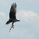 Osprey Building Her Nest by Margaret  Shark