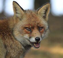 Red Fox - 836 by DutchLumix