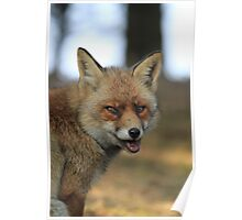 Red Fox - 836 Poster