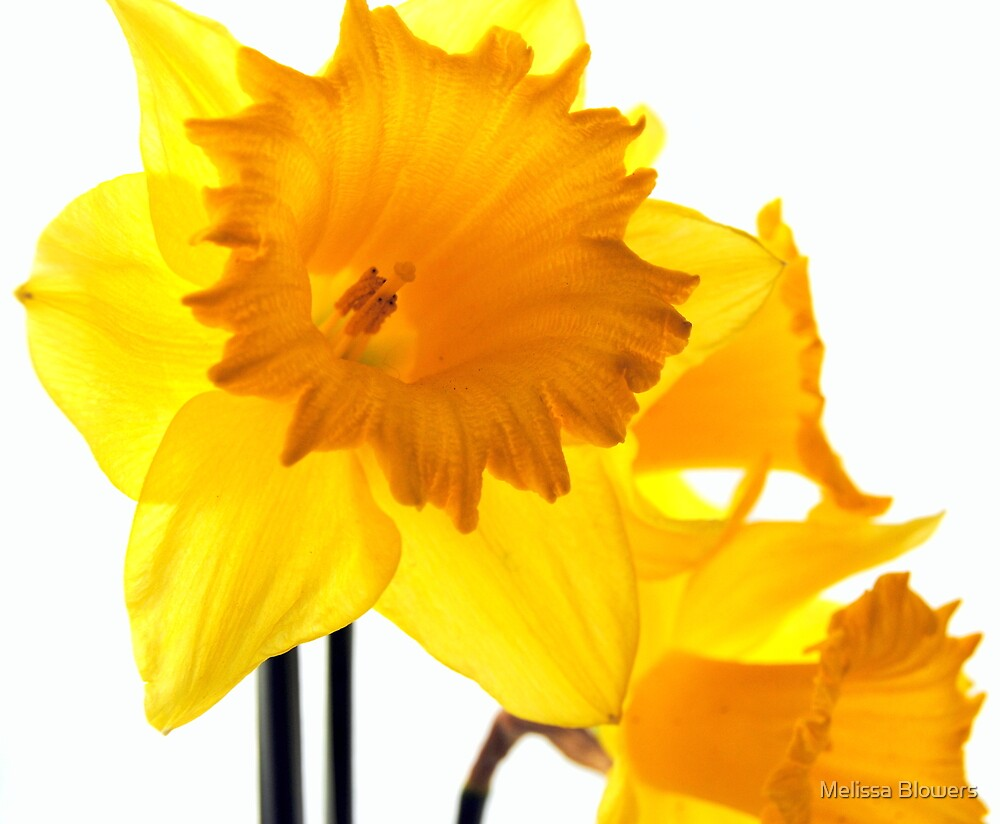 Daffodils by Melissa Blowers