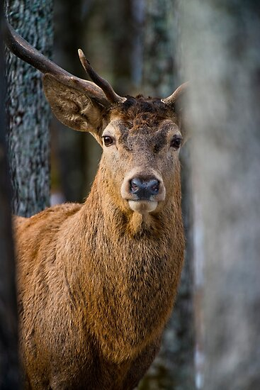 Bull Red Deer by Michael Cummings