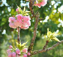 1 Sakura   ... by Danceintherain