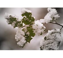 snow covered holly leaves Photographic Print
