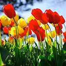 Spring Flowers Lilies by actionshot
