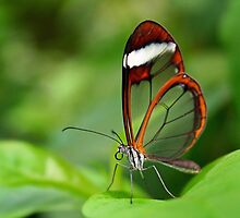 Glasswing - Greta oto by Lepidoptera