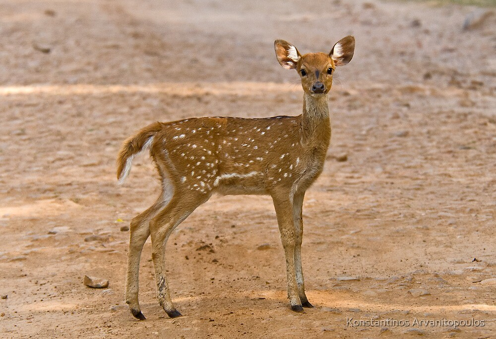 Baby Chital by Konstantinos Arvanitopoulos