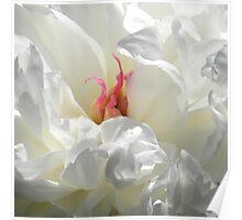 PEONY - WHITE SATIN MACRO Poster