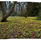 First Flower of Spring - Winter Aconite by © Kira Bodensted