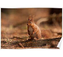 European Red Squirrel Poster