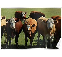 Herd of Cows on the Prairies Poster
