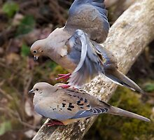 Mourning Doves by PixlPixi