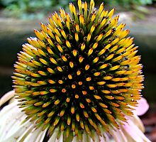Cone Flower~ by virginian