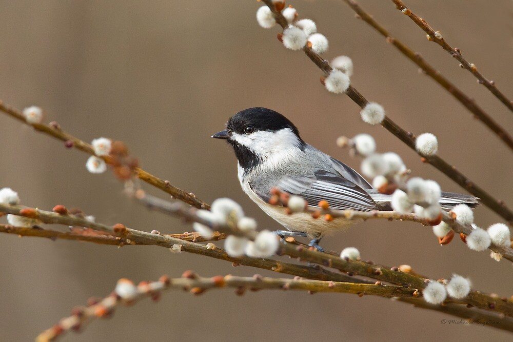 Black-capped Chickadee On Pussy Willow by PixlPixi