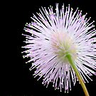Mimosa, nature's fireworks by lensbaby