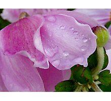 Japanese Anenome - Hidden Virtue Photographic Print