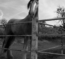 The Old Mare by Glenn McCarthy