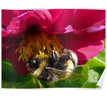 Bumble Bee on Dahlia - Polonaise Poster