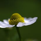delicate daisy by Clare Colins