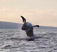 Hawaiian Humpback by Tom Steele