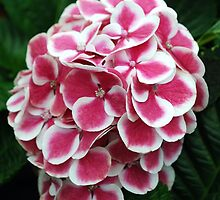 Soft Red and White Hydrangeas by Lozzar Flowers & Art