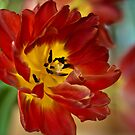 This is a ...Tulip by MarieFrance