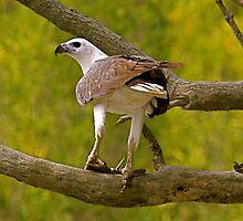 White belly sea eagle by Mike Merrutia