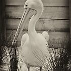 Shy Pelican by Karen Waples