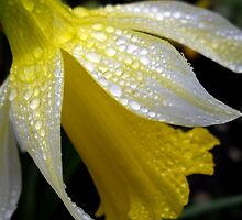 Delicate Daffodil by Sally J Hunter