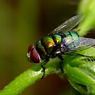 Awwh Purdy Blow Fly??? by Gabrielle  Lees