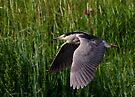 Black-crowned Night heron by Jim Cumming
