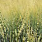 Barley by Joakim