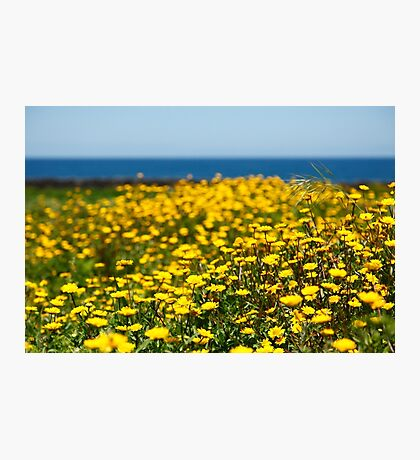 Field of yellow daisies Photographic Print