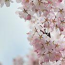 Cherry by Joakim