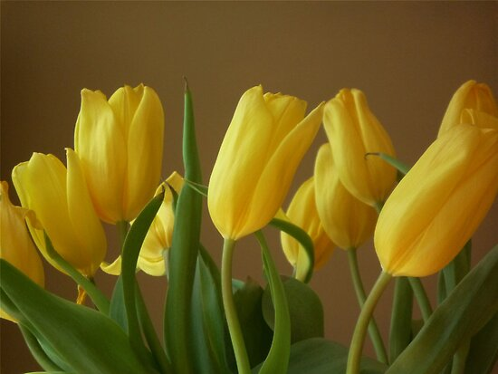 Yellow, My Favorite Tulips by tori yule