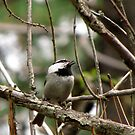 Mountain Chickadee ~  Deschutes National Forest ~ Bend, Oregon  by Kimberly Chadwick