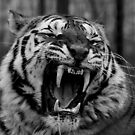 Tiger Yawn. by Mark Hughes