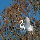 Great White Egret In Tree During Nesting Season by Joe Jennelle