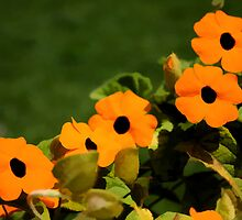 "Flower Power!  Black Eyed Orange Blossoms by Christine ""Xine"" Segalas"