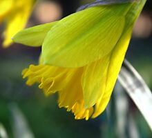 First Bloom...... Daffodil's by PDonovan