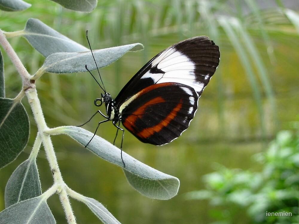 Butterfly Beauty by ienemien