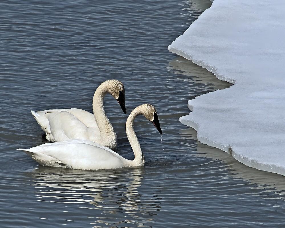 Spring Migration by Yukondick