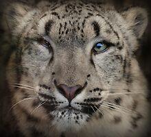 Snow Leopard by John Dickson