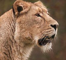 lioness by John Dickson