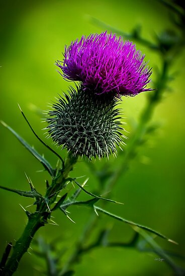 Thistle by Lois  Bryan