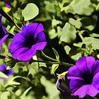 "Flower Power! Purple Petunias by Christine ""Xine"" Segalas"