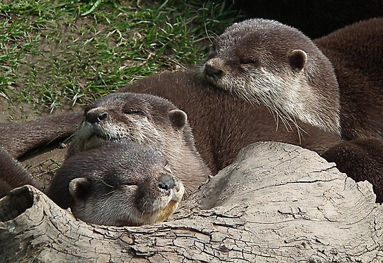 Part Of The Sweet Family Of Otters At  Escot by lynn carter