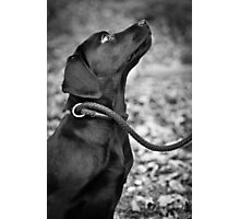 """Labrador Gundog Puppy - """"Devotion"""" Photographic Print"""